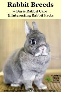 dwarf rabbit for pet rabbit breed