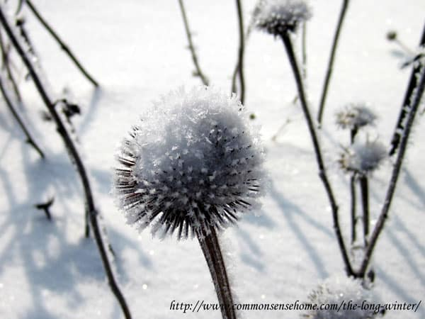 echinacea-in-winter