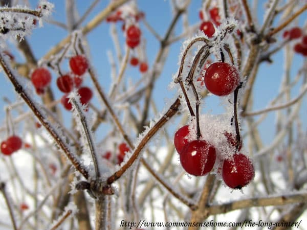 highbush-cranberry-winter