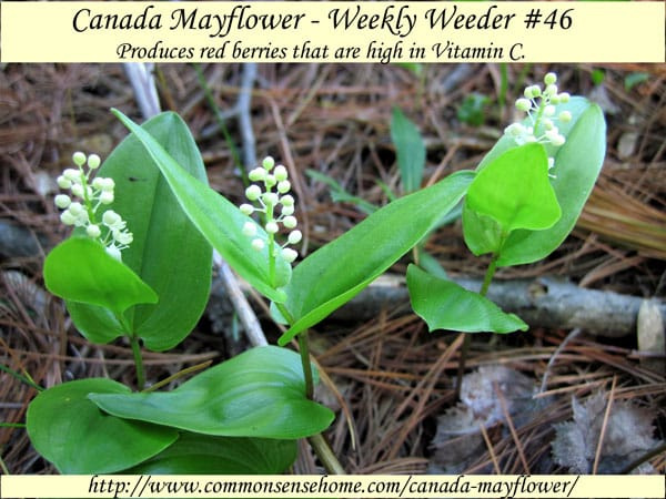 Canada Mayflower - Maianthemum canadense - Weekly Weeder #46 - Range and Identification, Uses as Wildlife Habitat, and for Food and Medicine. #wildcrafting