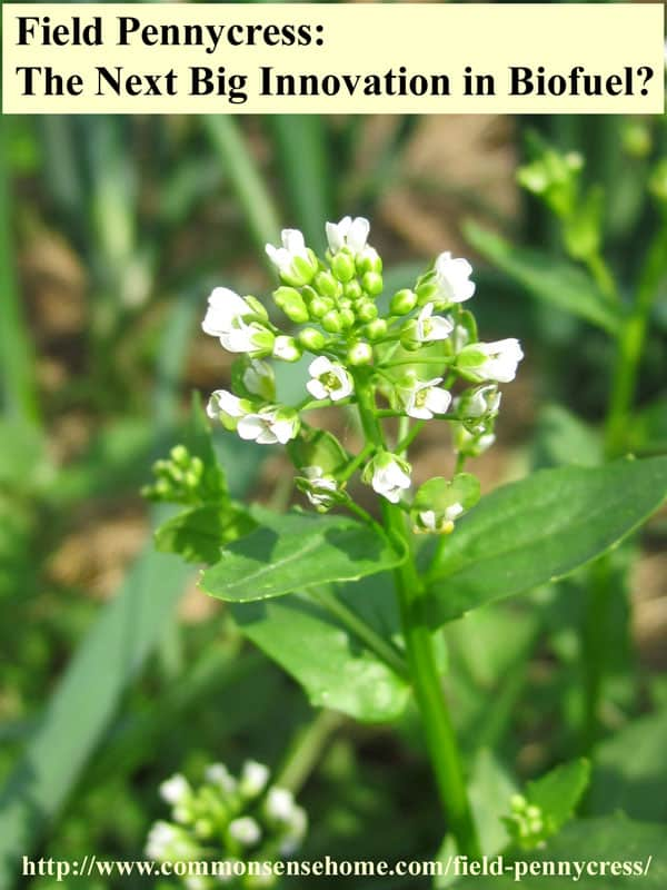 Field Pennycress - range and identification, wildlife uses, uses for food and medicine, potential as the next big biofuel crop.