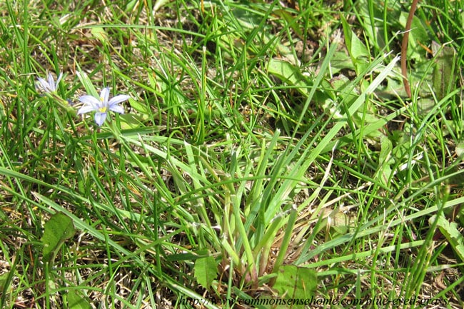 Blue-Eyed Grass - Sisyrinchium montanum - the grass that is not a grass, but a beautiful, delicate iris. Range and identification, wildlife and human uses.