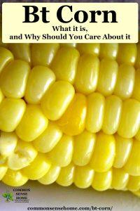 bt corn close up of corn kernals