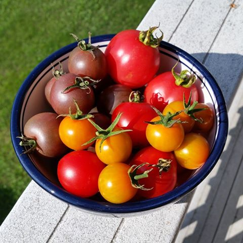 Black Cherry, sungold and pearly pink tomatoes