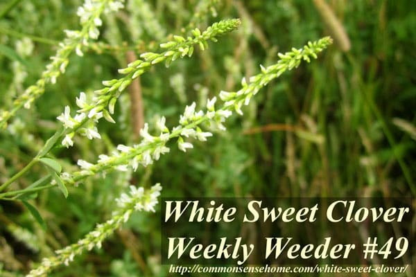 White Sweet Clover - Melilotus alba - Weekly Weeder #49 - Range and Identification; use as wildlife habitat; medicinal, food and other uses.