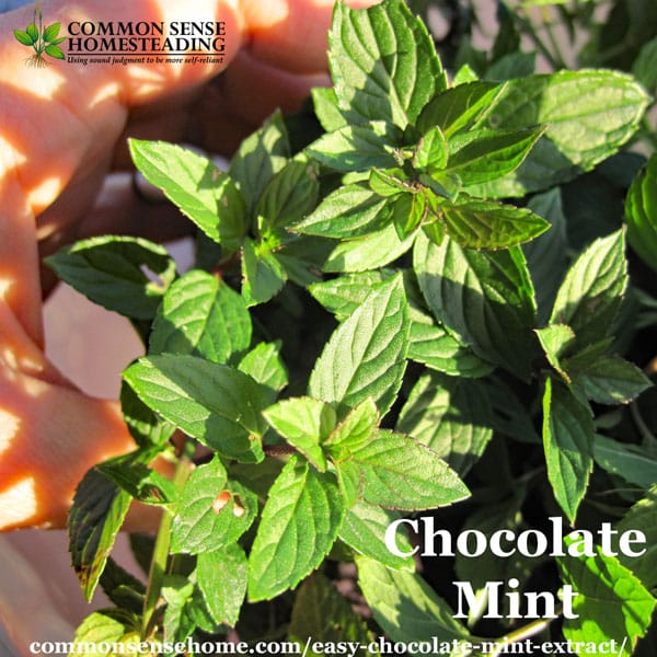 Easy Chocolate Mint Extract Recipe on house plant strawberry, house plant ginger, house plant candy cane, house plant sage, house plant lime, house plant pineapple, house plant banana,