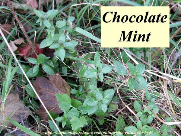 Chocolate mint plant in late fall