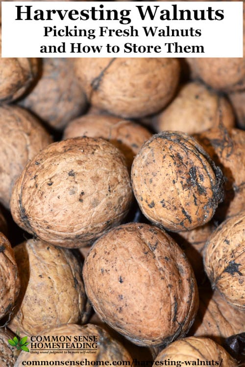 Harvesting walnuts - How to pick English walnuts, plus tips for preventing bitter walnuts, drying walnuts, walnut storage and walnut use.