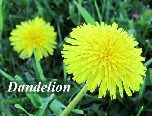 Dandelion as coffee alternative