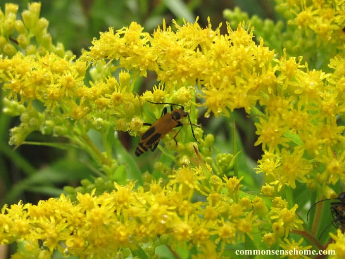 soldier beetle (beneficial insect) feeding on goldenrod pollen