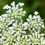 "Text - ""5 Reasons I Want Weeds in My Garden"". image of Queen Anne's lace"