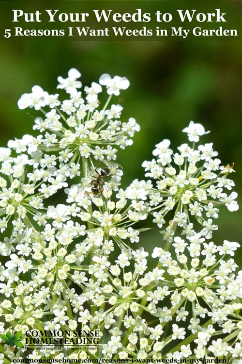 "Queen Anne's Lace flowers with text ""Put Your Weeds to Work - 5 Reasons I want weeds in my garden"""