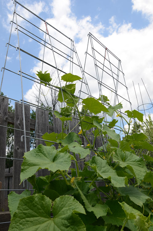 Cucumbers on Vine Spine trellis