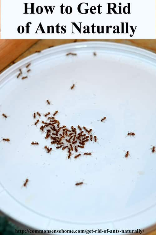 Tiny Ants In House