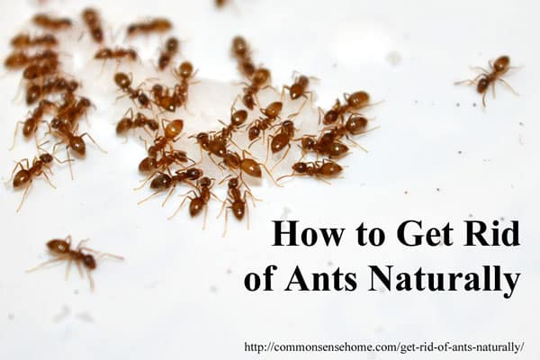 How To Get Rid Of Black Ants Naturally Outside