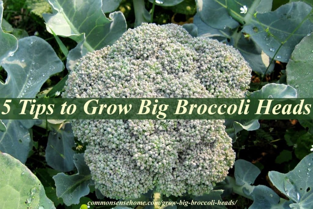 5 tips to grow big broccoli heads broccoli head mightylinksfo