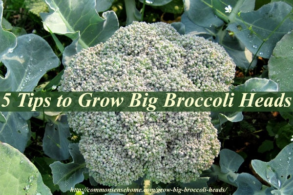 5 Tips To Grow Broccoli Heads Plus General Growing Requirements Companion