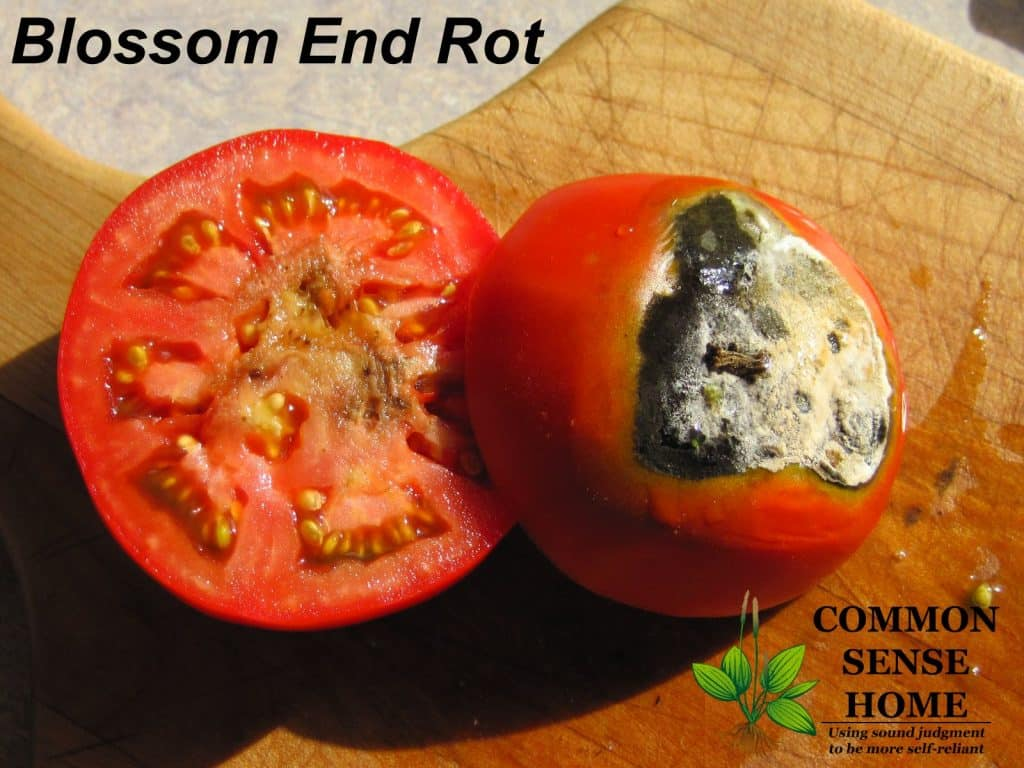 Extreme case of blossom end rot on tomato