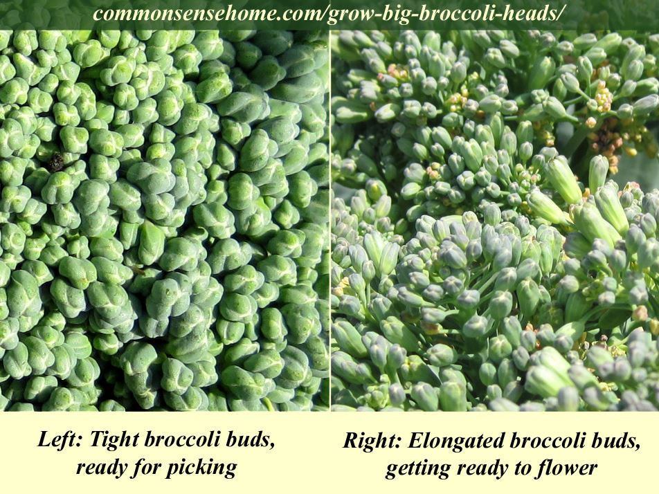 Broccoli bud comparison