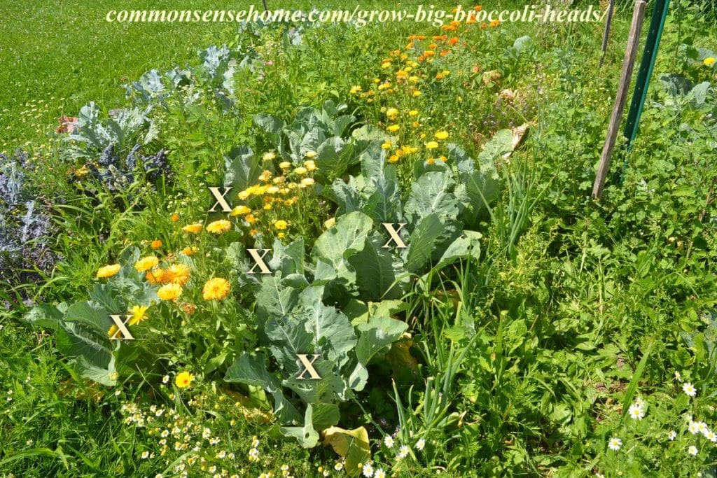 5 tips to grow big broccoli heads weedy broccoli bed mightylinksfo