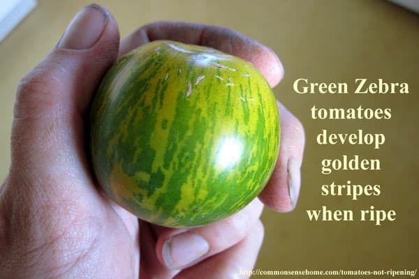 Green Zebra tomatoes develop golden stripes when ripe