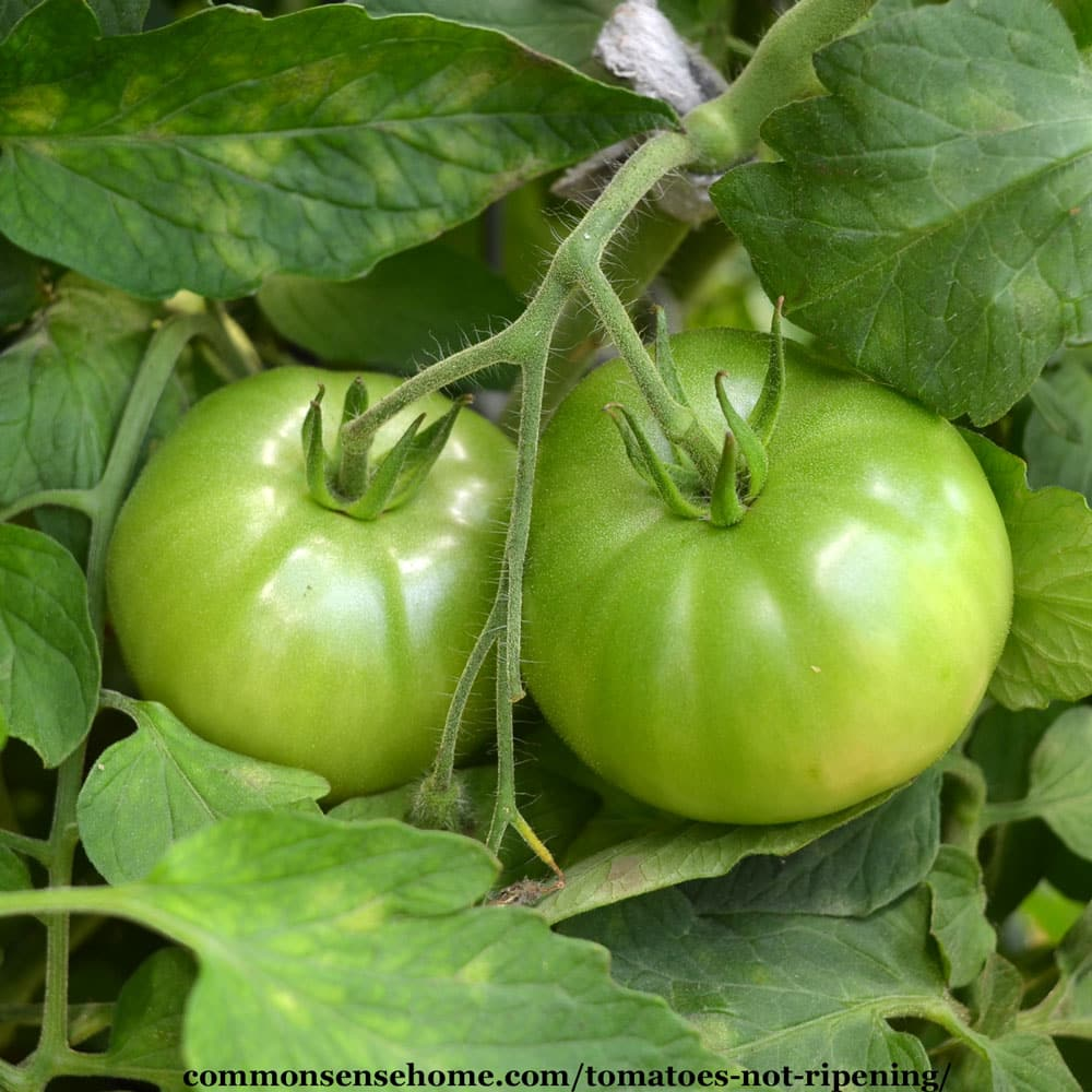 tomatoes not turning red, not ripening