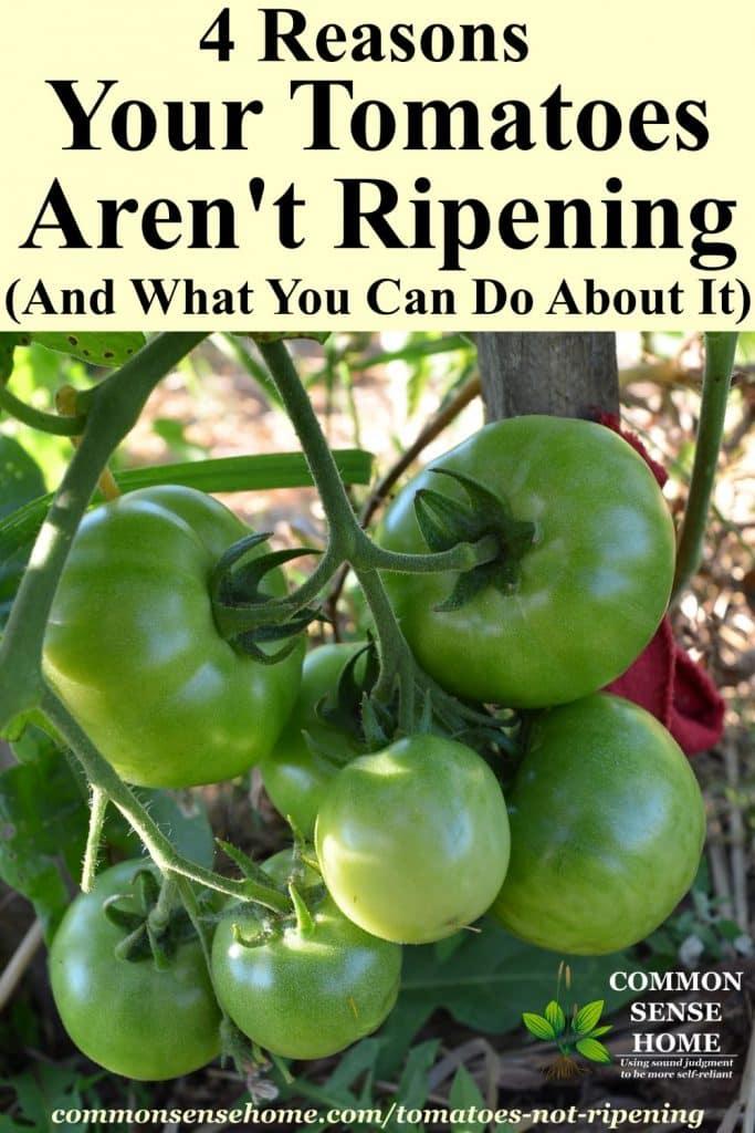 Unripe tomatoes on vine