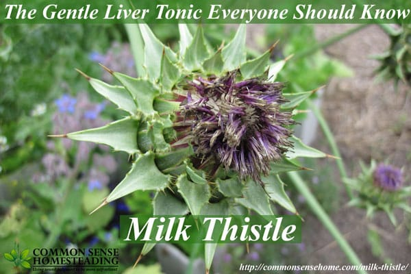 Milk Thistle Benefits - The Gentle Liver Tonic Everyone Should Know - Learn how to use milk thistle seeds to improve your health.