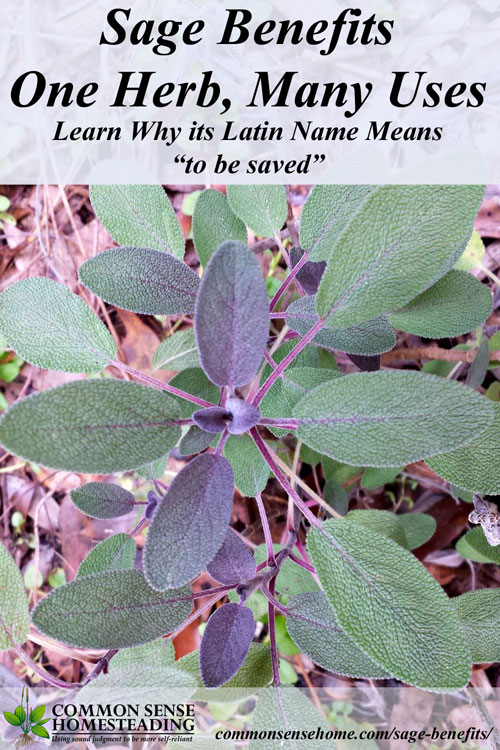 "Sage Benefits - One Herb, Many Uses - Salvia derives from ""to be saved"", and with all the wonderful benefits and uses of sage, you're sure to want it in your garden, kitchen and medicine cabinet."