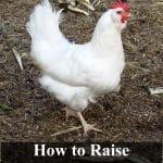 leghorn chicken