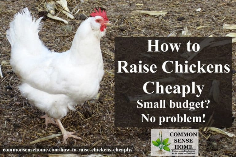 How to Raise Chickens Cheaply – Small Budget? No Problem.