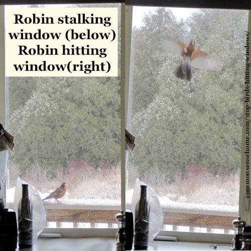 Robin hitting window