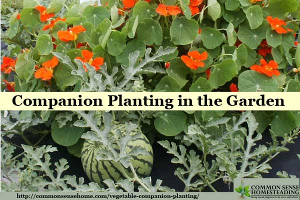 Check out this easy vegetable companion planting system that will allow you to mix and match your favorite garden crops and their best companion plants.