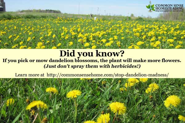 A meme gone wild on social media has led to an outbreak of dandelion madness, with those who enjoy dandelions for food and medicine under attack.
