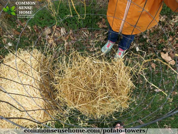 lining potato tower with straw for growing potatoes