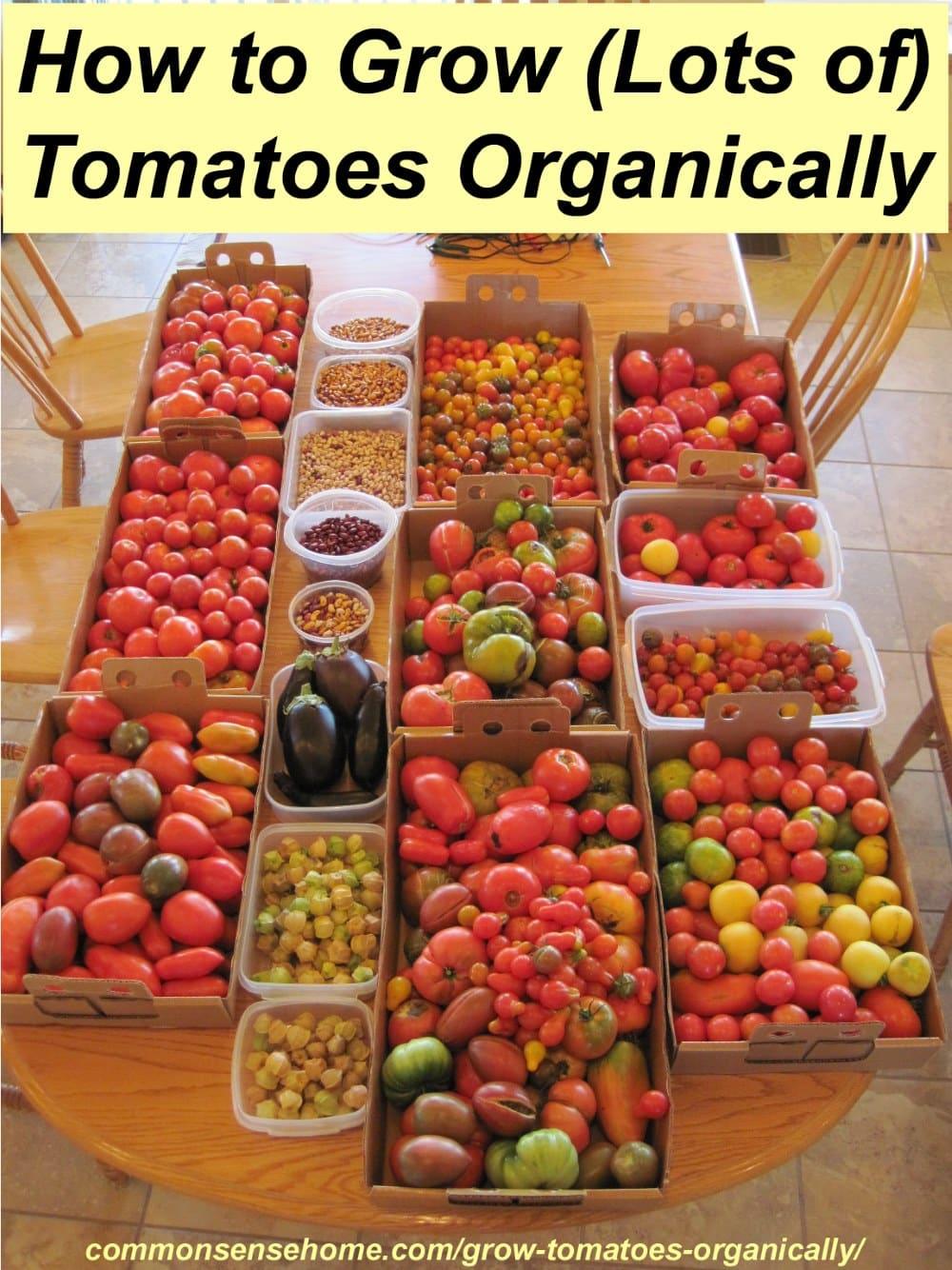 organic tomato harvest