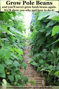Easy step by step instructions for growing pole beans, the best pole bean trellis and pole bean varieties, how to save seed from pole beans, pole bean companion plants.