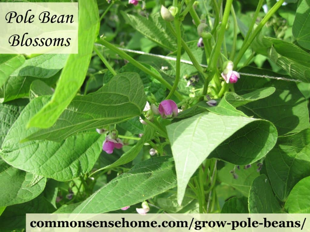 Pole bean blossoms