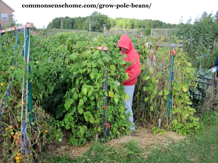 Bean Trellis Ideas Part - 18: Picking Mature Pole Beans On Bean Trellis .