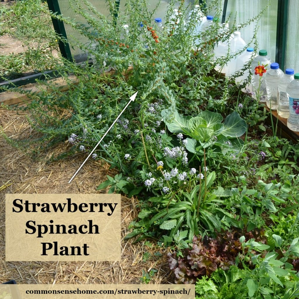 Giant strawberry spinach
