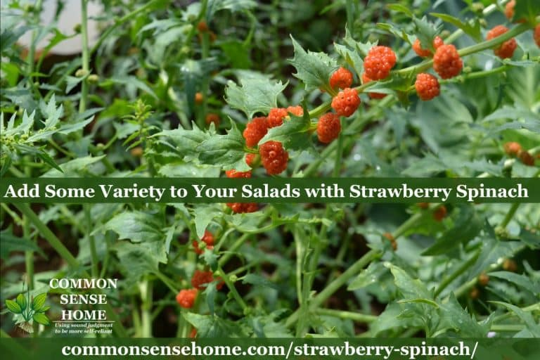 Strawberry Spinach – Easy Care Salad Green with Edible Berries