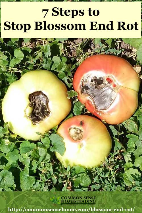 bottom rot in tomatoes