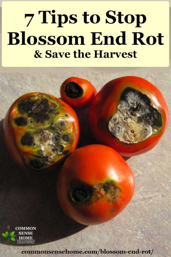 four tomatoes with blossom end rot