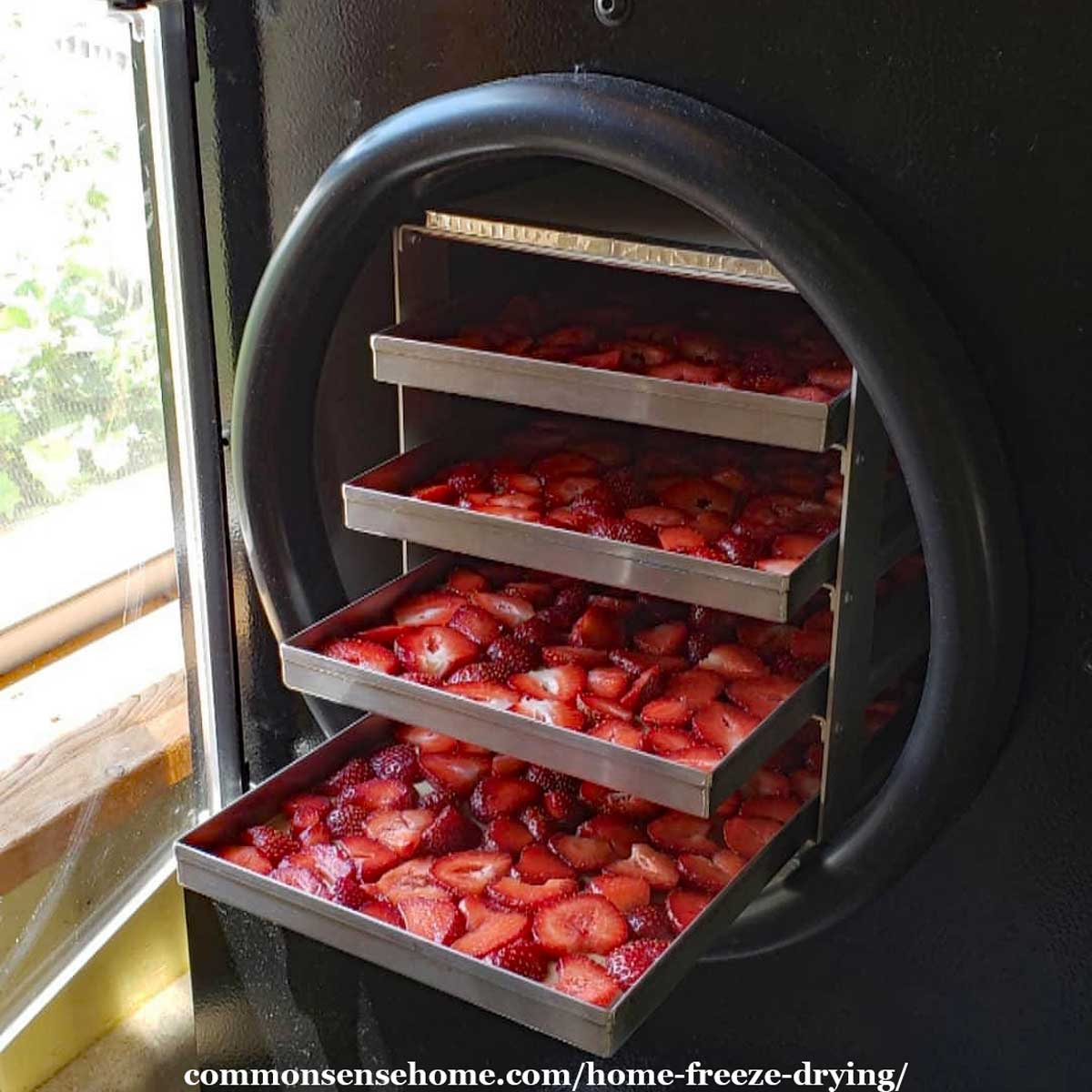 strawberries in freeze dryer
