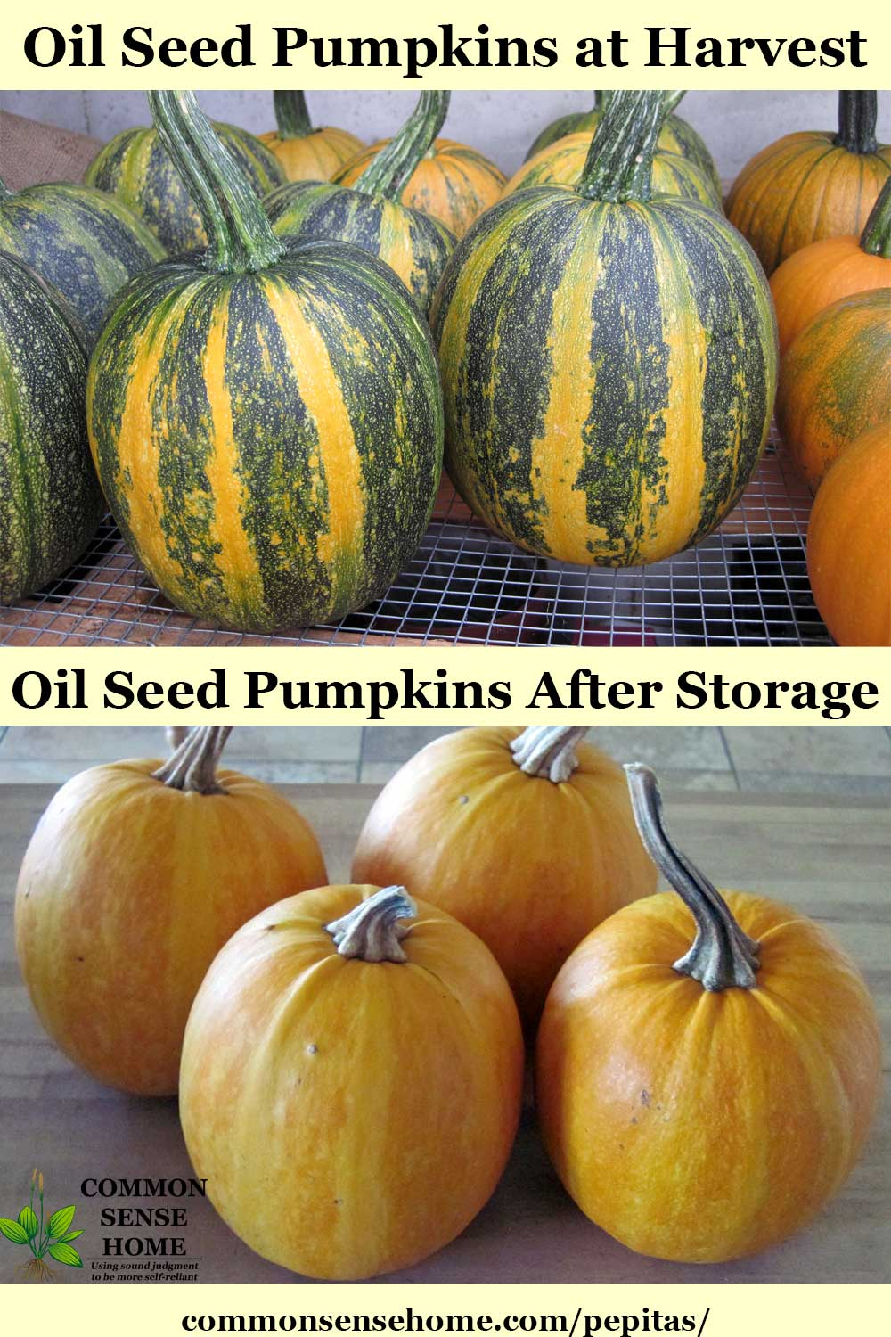 Oilseed pumpkins before and after storage
