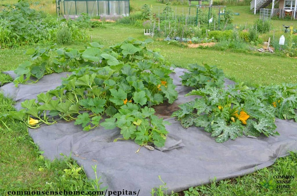 Pumpkin patch growing pepitas