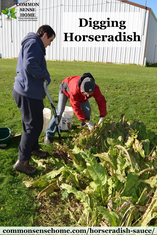 digging horseradish