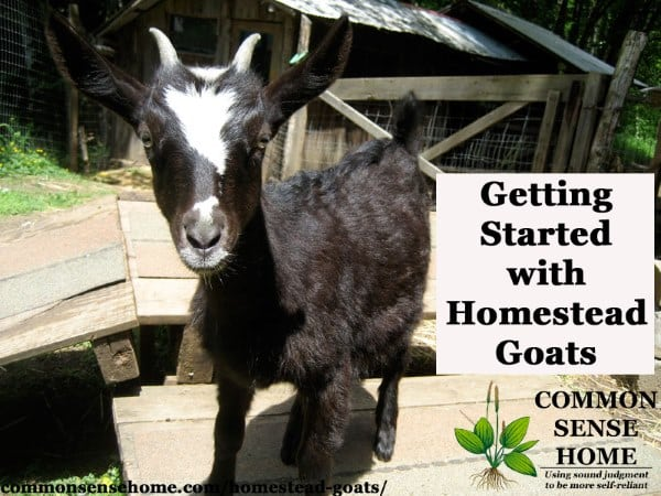 Homestead Goats – What You Need to Know to Get Started