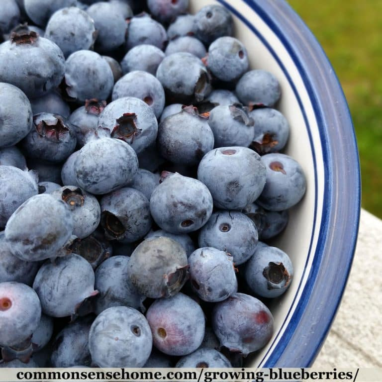 Growing Blueberries – Best Tips for the Home Garden
