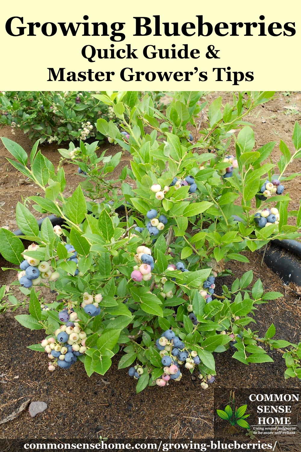 small blueberry plant loaded with a mix of ripe and unripe blueberries